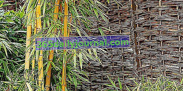 Bambus v kvetináči: ako ho udržiavať?