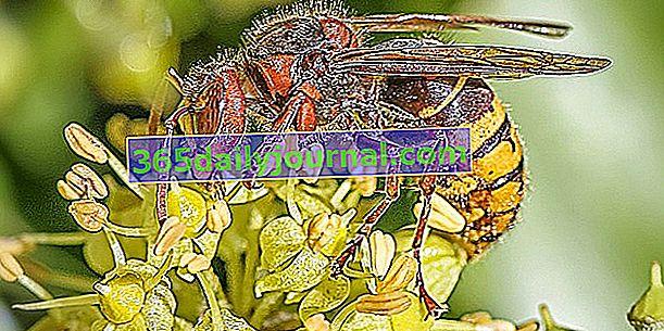 Avrupa eşekarısı, bir tür yaban arısı