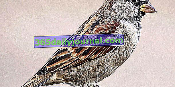 Kućni vrabac (Passer domesticus), ptica urbanih područja