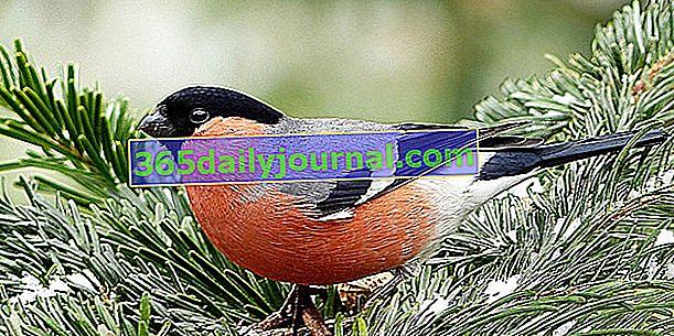 Snjegulja (Pyrrhula pyrrhula), diskretna ptica s crvenim trbuhom