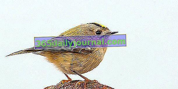 Crested Kinglet (Regulus regulus), jeden z najmniejszych ptaków w Europie