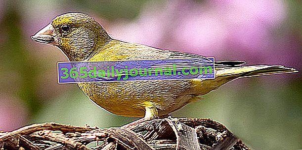 El Verderón europeo (Carduelis chloris), pequeño paseriformes coloridos