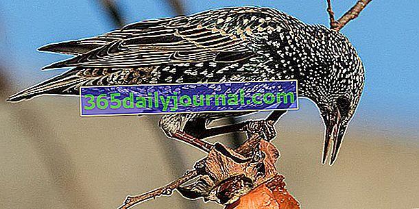 Estornino Pinto (Sturnus vulgaris), el ave que vive en grupo