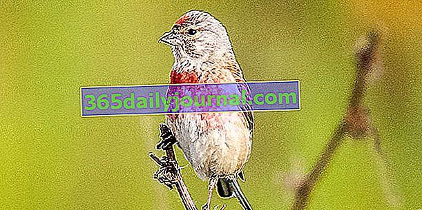 Melodyjna Linnet, ptak o ekstrawaganckich barwach latem