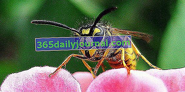 Ose, grize, a odlični plenilci žuželk