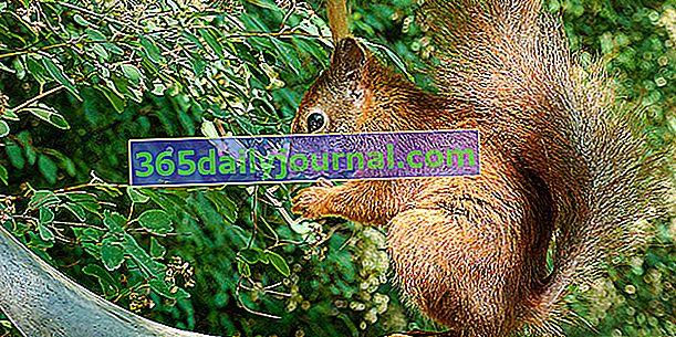 Veverica, neumorna nabiralka orehov
