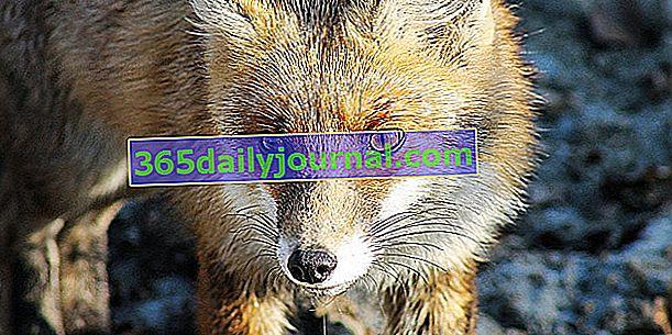 Červená liška, mazaná a impozantní v kurníku