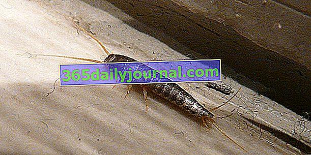 Srebrna ribica, žuželka vročih in vlažnih hiš