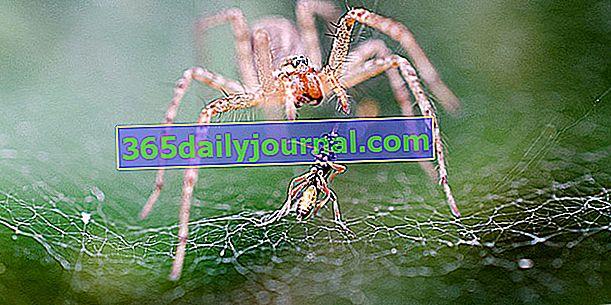 Pavouci: nechte žít na zahradě, jsou užiteční!