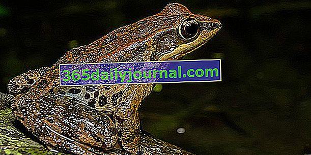 Žaba, vrijedna pomoćna vodozemac u vrtu