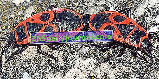 Žandar (Pyrrhocoris apterus), najbezopasniji kukac