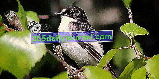 Muchołówki, ptaki polujące na owady przydatne w ogrodzie