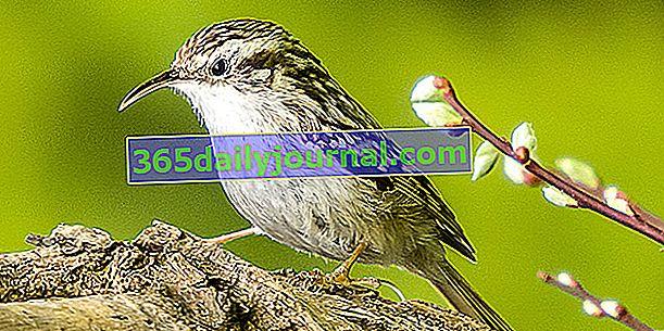 Градинската пълзяща растение (Certhia brachydactyla), птица с тънък и извит клюн