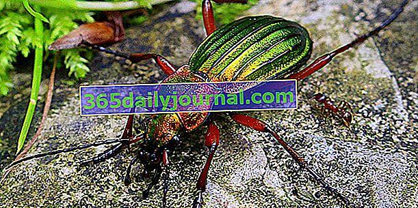Бръмбари: 40% от видовете насекоми