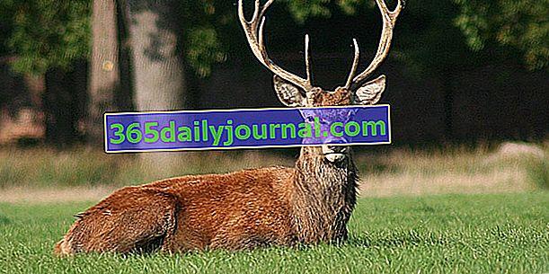 Благороден елен, голям горски преживни животни