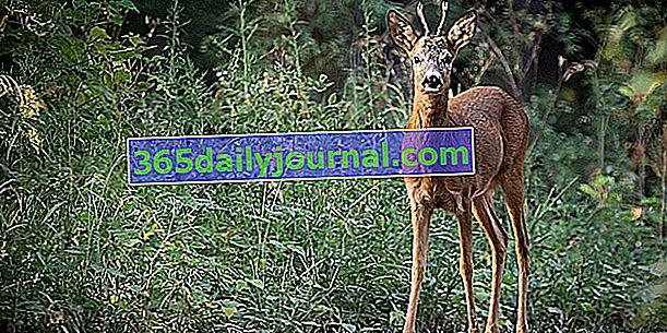 Ovalarda büyüyen bir orman hayvanı olan karaca