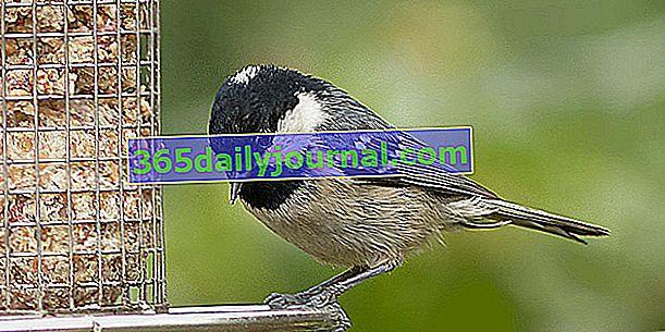 Jak karmić ptaki w ogrodzie zimą?