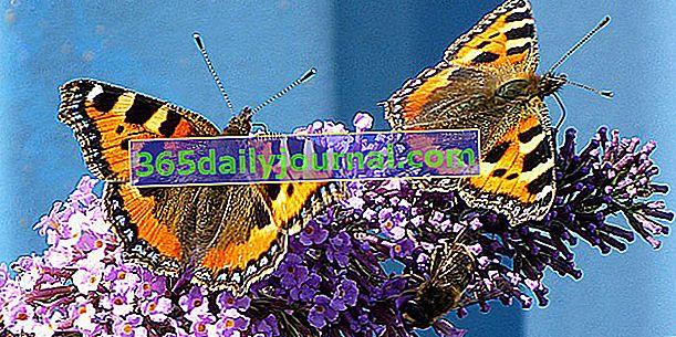 Cómo atraer mariposas al jardín.