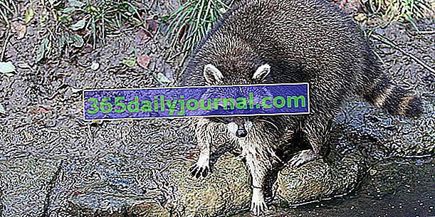 El mapache, un oportunista de América