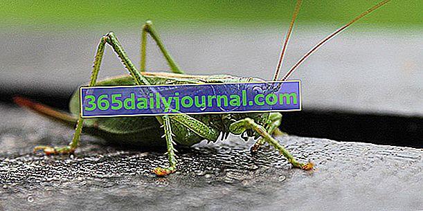 El gran saltamontes verde, devorando el escarabajo de Colorado