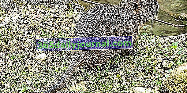 Nutria, una plaga de roedores