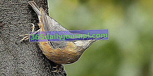 Avrasya sıvacı kuşu (Sitta europaea), baş aşağı yürüyebilen kuş