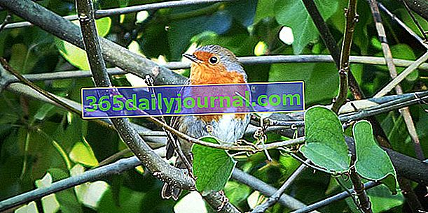 Robin (Erithacus rubecula): mały znajomy ptak w naszych ogrodach