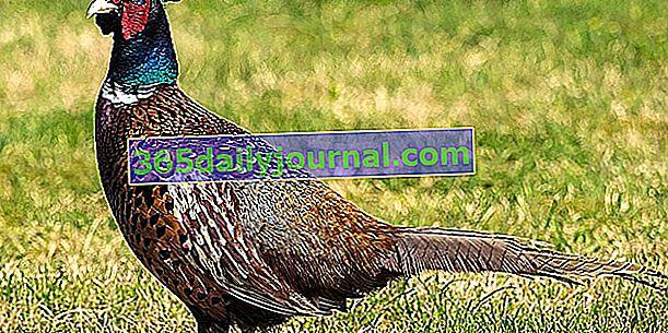 El faisán, una especie de gallina salvaje
