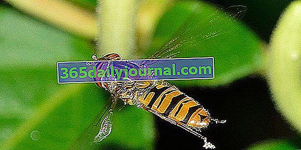 Hoverfly, yaban arısı kılığına girmiş bir sinek