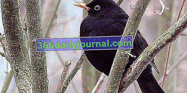 Mirlo (Turdus merula), pájaro negro con pico naranja