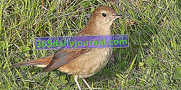 Slavuj (Luscinia megarhynchos), ptica s milozvučnom pjesmom