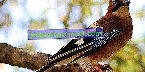 Jay euroasiático (Garrulus glandarius) con plumaje de colores brillantes