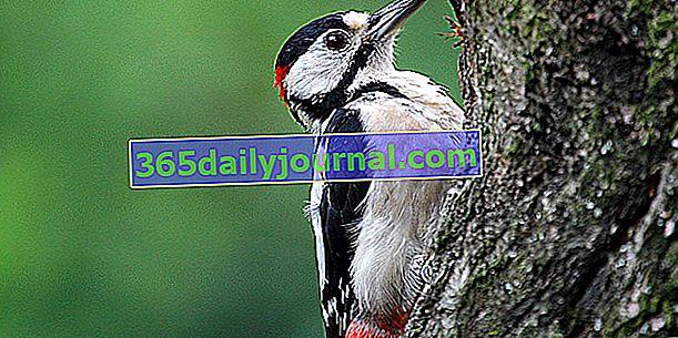 El pico picapinos (Dendrocopos major), el pájaro carpintero más común