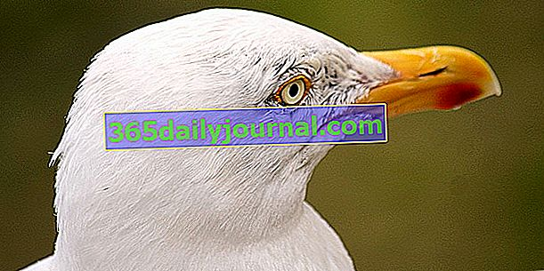 Mewa, kultowy ptak morski