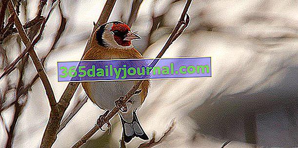 Vrabci: co je to za velkou rodinu ptáků?