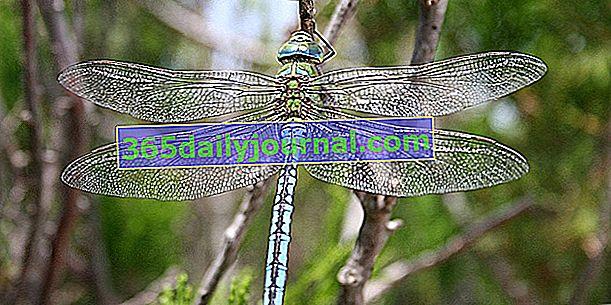 Ważka, piękny latający owad