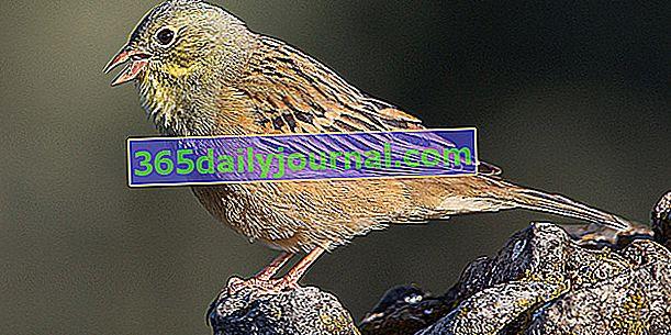 Ortolan alebo Sparrow (Emberiza hortulana), chránený vták