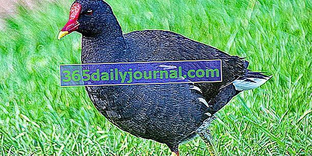 Slípka zelenonohá (Gallinula chloropus), pták obeznámený s vodním prostředím