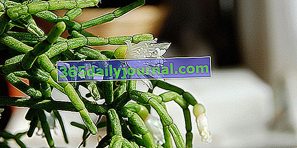 Ökseotu kaktüsü (Rhipsalis) veya mercan kaktüsü