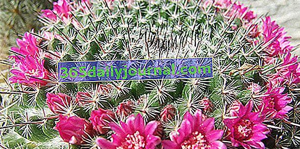 Mamilar (Mammillaria spp.), El más fácil de los cactus