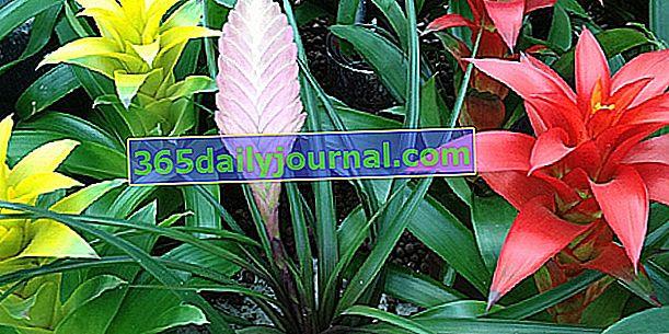 Guzmania (Guzmania), planta de interior prima de la piña