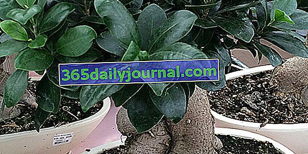 Ficus ginseng (Ficus microcarpa), bonsai para principiantes