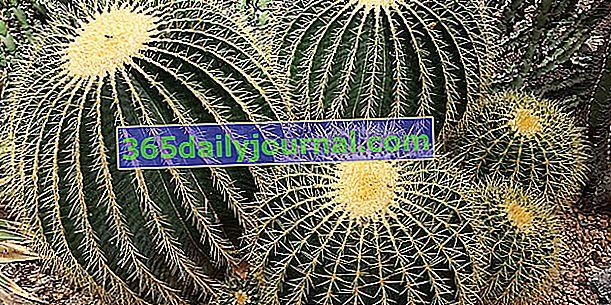 Cojín de suegra (Echinocactus grusonii), cactus de erizo de mar