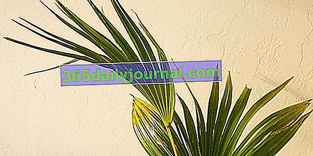 Livistona (Livistona rotundifolia), palmera de abanico de interior