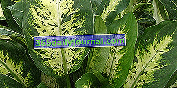 Дифенбахия (Dieffenbachia), отровно стайно растение