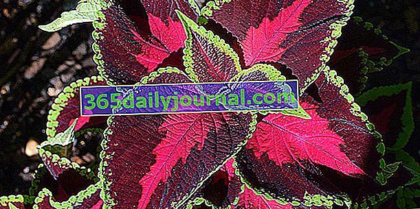 Coleus (Solenostemon scutellaroides), hojas coloridas