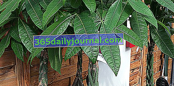 Pachira (Pachira aquatica) ali gvajanski kostanj