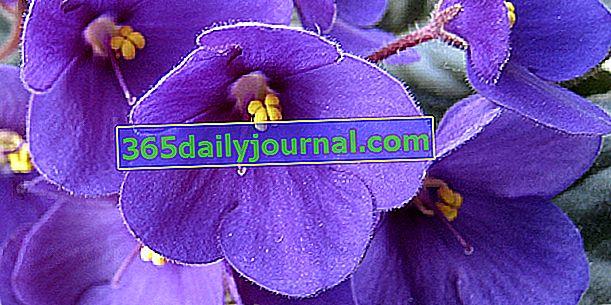Saintpaulia, violeta del Cabo o violeta africana