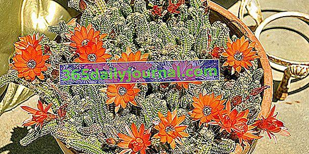 Kaktus w marynacie (Chamaecereus silvestrii), łatwy kaktus