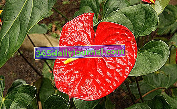 planta descontaminante de anthurium
